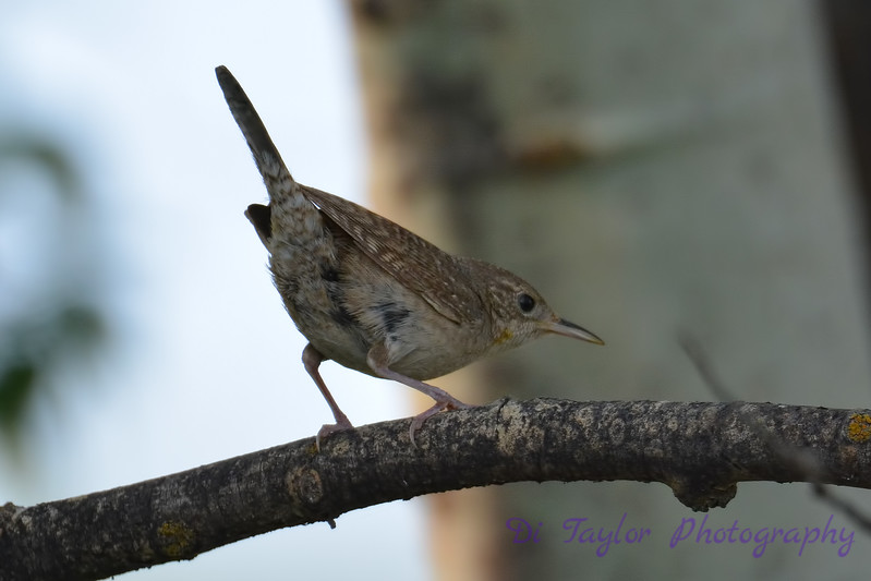 House Wren 30 Jul 2017