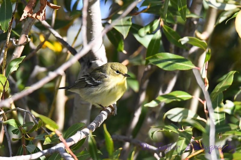 Blackpoll Warbler  2 Sep 16 2020