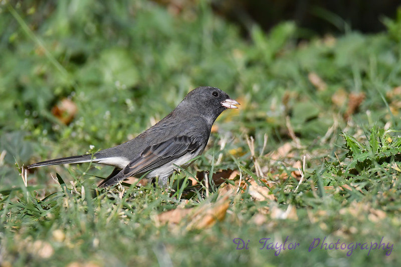 Dark eyed Junco 5 Sep 25 2020