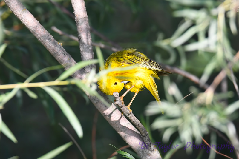 Yellow Warbler male grooming 12 Jul 2019