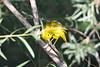 Yellow Warbler male grooming 12 Jul 2019