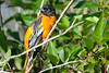 Baltimore Oriole male 2  Aug 21 2017