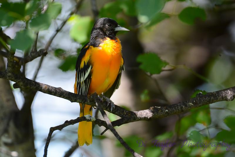 Baltimore Oriole Adult Male in Poplar Tree