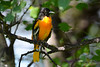 Baltimore Oriole Adult Male in Poplar Tree