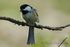 Chickadee 14 Aug 2017