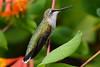 Female Ruby Throated Hummingbird sitting on vine 15