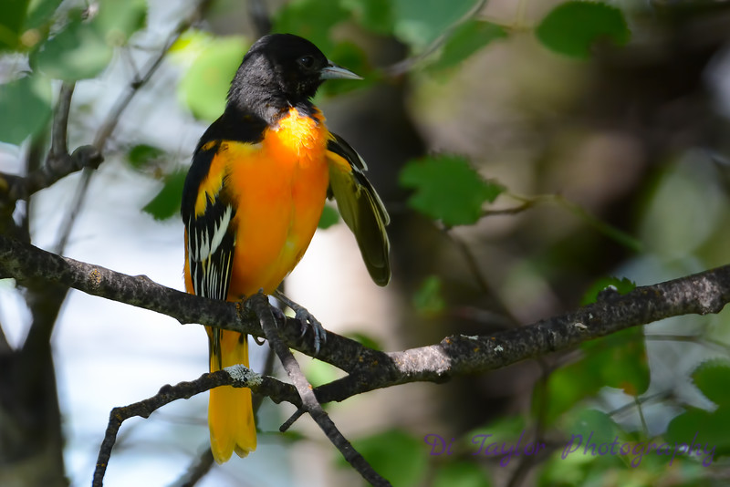 Baltimore Oriole Adult Male in Poplar Tree 2