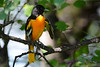Baltimore Oriole Adult Male in Poplar Tree 2