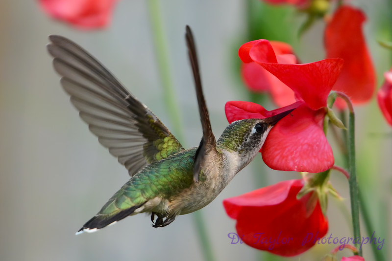Female Ruby Throated Hummingbird with sweet peas 2