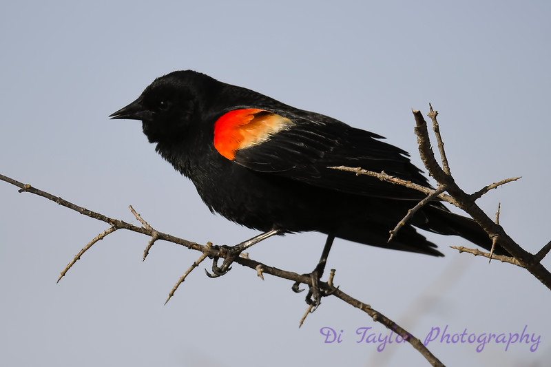 Red winged blackbird May 6 2018