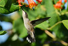 Jeuvenile Ruby throated hummingbird in honeysuckle trumpet vine 7