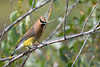 Cedar Waxwing July 20 2018