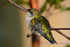 Very Young Hummingbird in bush