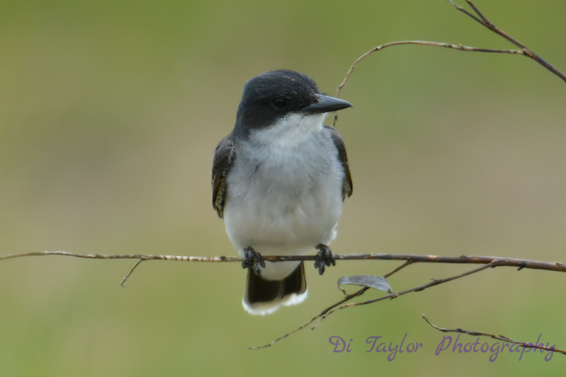 Eastern Kingbird 14 Jul 2017