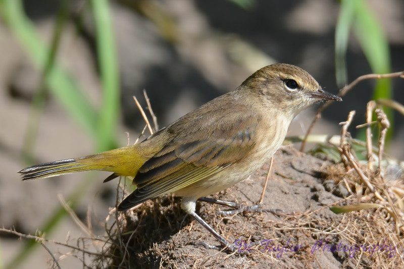 Palm Warbler Non breeding  5  Sep 4 2017