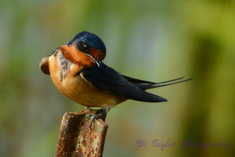 Barn Swallow on rusted pipe 1
