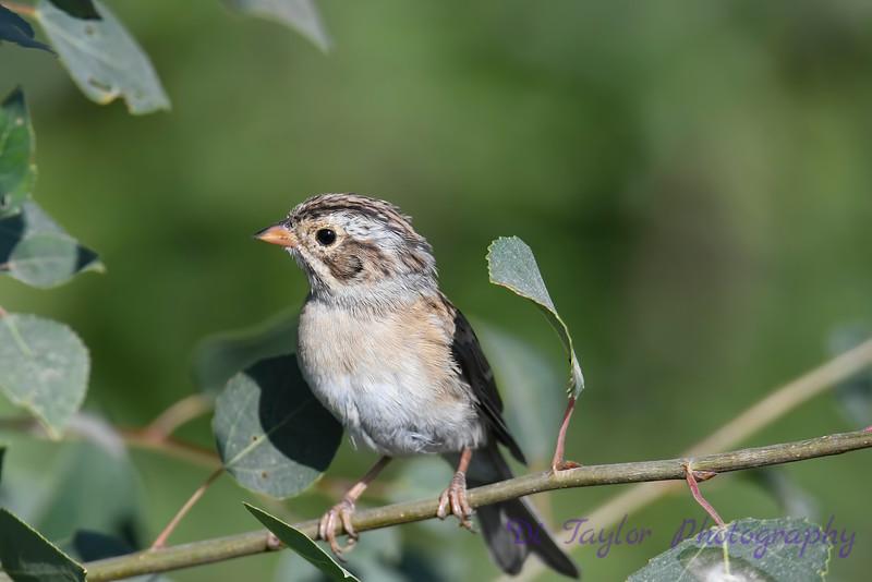 Grasshopper Sparrow 2 July 29 2018