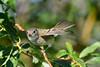 Least Flycatcher taking flight