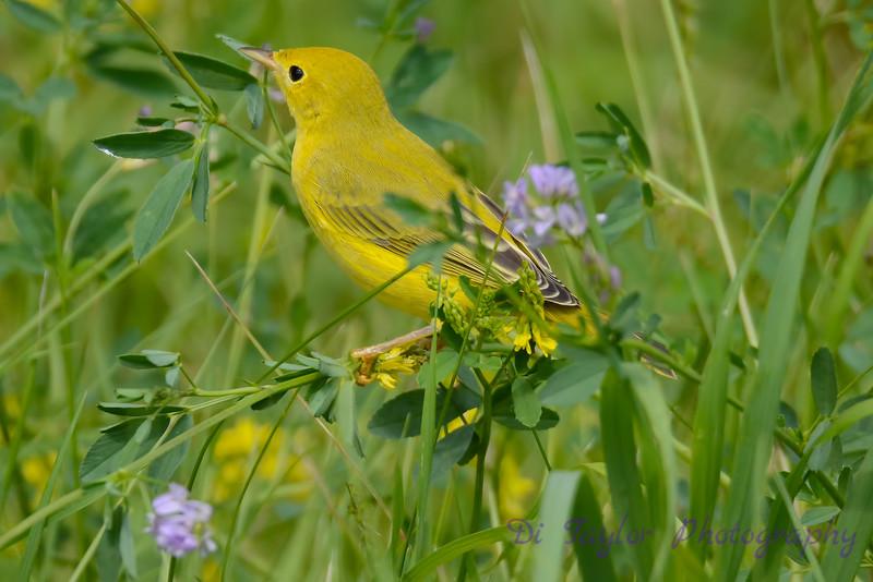 Yellow Warbler in wild flowers 3