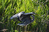 Great Blue Heron 10 Aug 2 2020