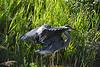 Great Blue Heron 10 Aug 2 2020