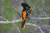 Baltimore Oriole 3 May 31 2017