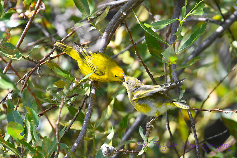 Yellow Warbler male feeding baby 7