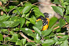 Baltimore Oriole Aug 6 2020
