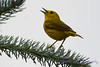 Yellow Warbler singing in pine tree