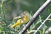 Yellow Warbler 4  Aug 2 2020