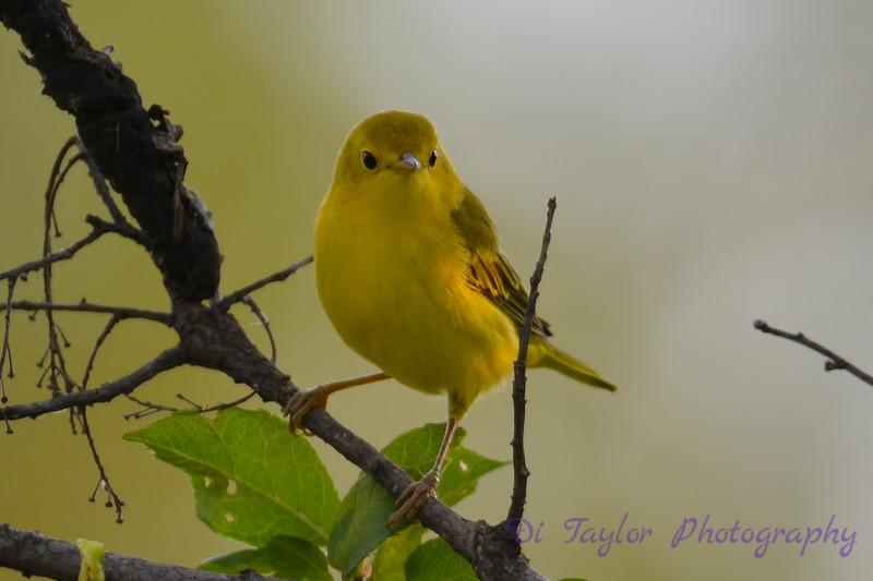 Yellow Warbler 28 Jul 2017