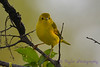 Yellow Warbler 28 Jul 2017