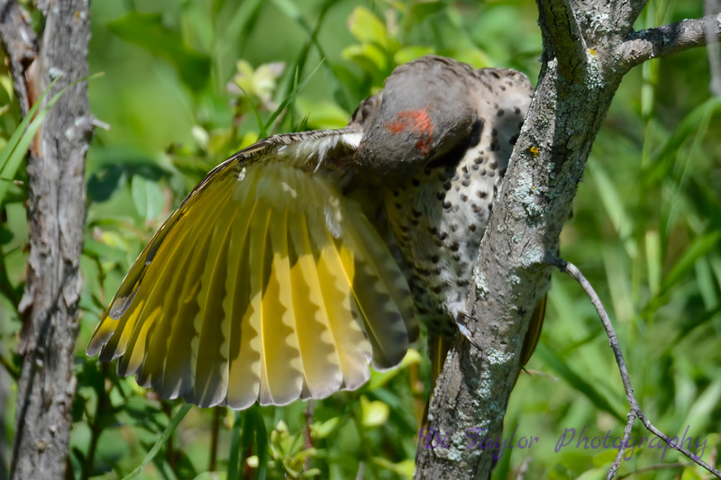 Northern Flicker extending wing