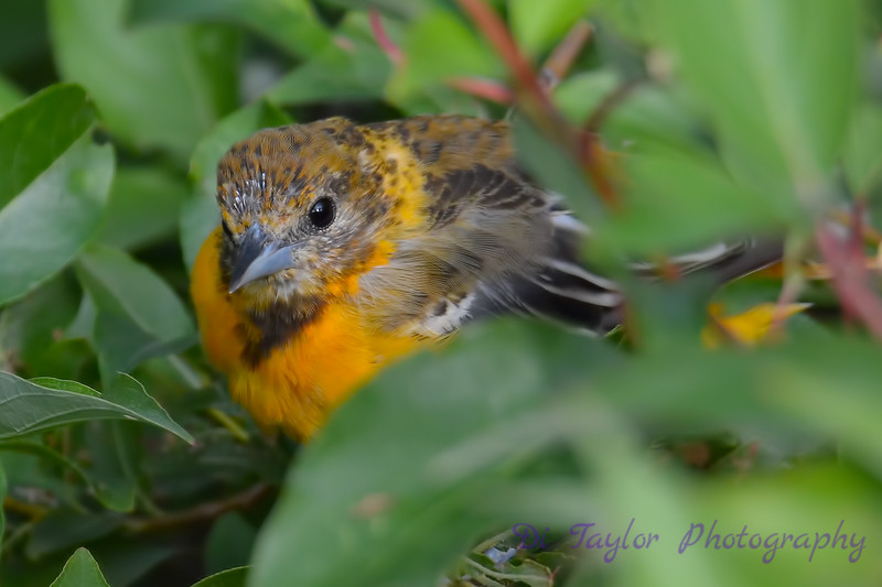 Baltimore Oriole juvenile 24 Jul 2017