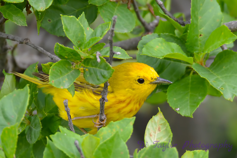 Yellow Warbler 23 Jul 2017