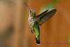 Female Ruby Throated Hummingbird hovering 5
