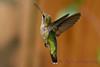 Female Ruby Throated Hummingbird hovering 5