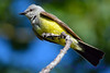 Western Kingbird in Tree