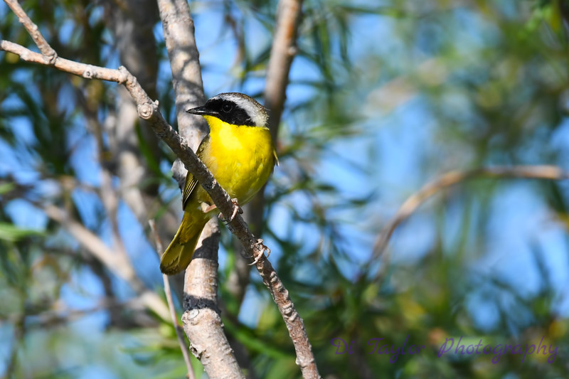 Common Yellowthroat male 3  1-Jul-2019