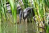 Great Blue Heron 6 Aug 2 2020