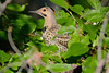 Northern Flicker hidden in leaves
