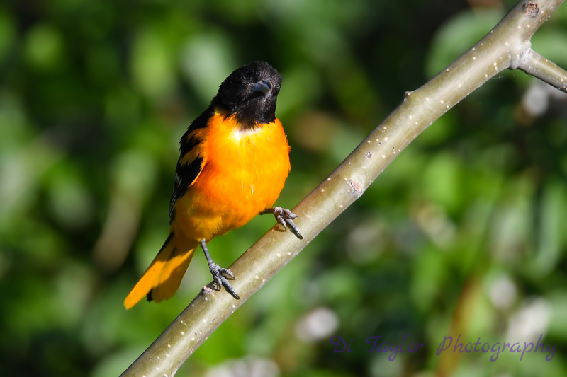 Baltimore Oriole male July 13 2018