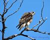 Swainson Hawk - original size-1
