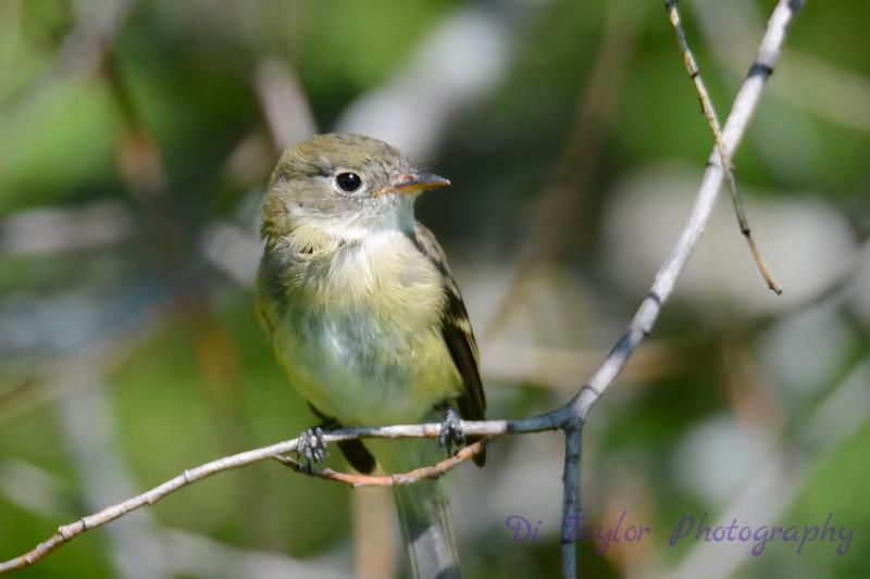 Least Flycatcher sitting in Poplar tree 4