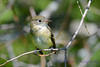 Least Flycatcher sitting in Poplar tree 4
