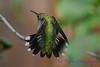 Female Ruby Throated Hummingbird in lilac tree