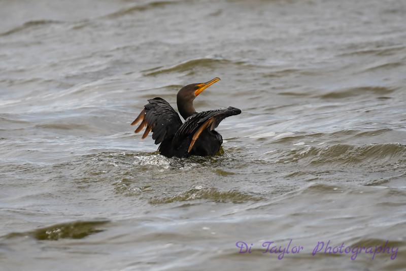 Cormorant Swimming 2 Sep 9 2018