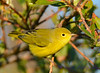 Yellow Warbler male Aug 21 2017