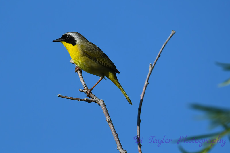 Common Yellowthroat male 7 1-Jul-2019