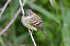 Least Flycatcher Aug 26 2017
